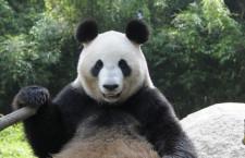 Questo è un panda, ma vero